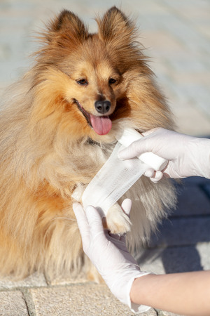 german animal medic puts a bandage on a shetland sheepdog