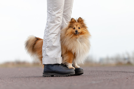 Dog trainer works with a sheetland sheepdog