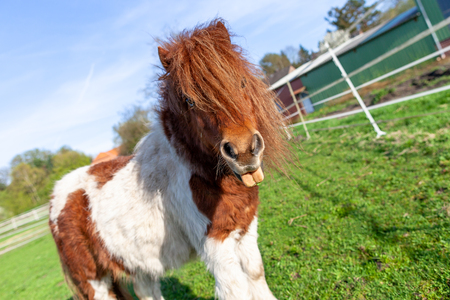 Portrait of a Shetlandpony on a green meadow Foto de archivo - 100222844