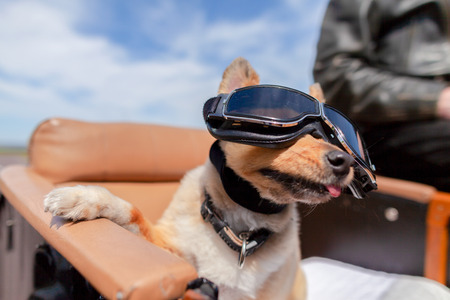 Shetland Sheepdog sits with sunglasses in a motorcycle sidecar Stock Photo