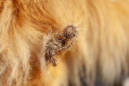 Thistles are hanging on a dog fur Stock Photo