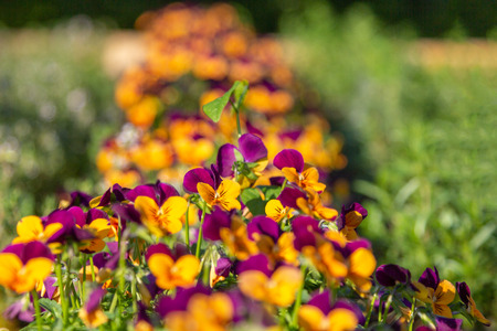 a pansy bed in different beautiful colors