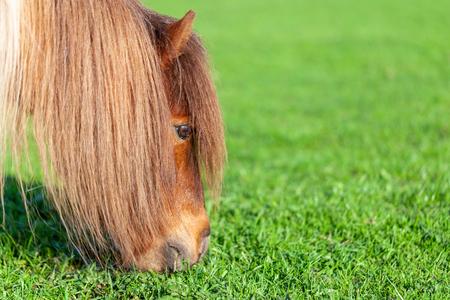 Portrait of a Mini Shetlandpony on a green meadow Foto de archivo - 109912599