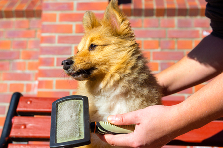 Brush grooming on a young shetland sheepdog 스톡 콘텐츠
