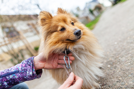 A woman is leashing her sweet shetland sheepdog