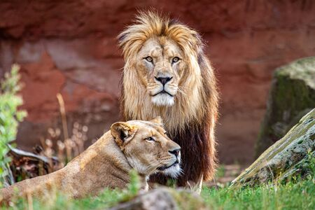 Barbary lion and lioness. The Barbary lion was also called North African lion, Berber lion and Atlas lion.