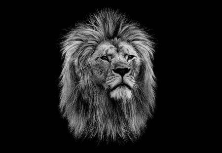 Black and white head of a lion Archivio Fotografico