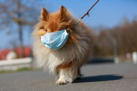 to go for a walk with a shetland shepdog with a mask Standard-Bild
