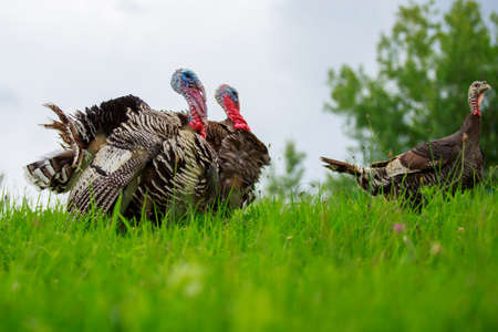Portrait of a turkey on a green meadow 版權商用圖片