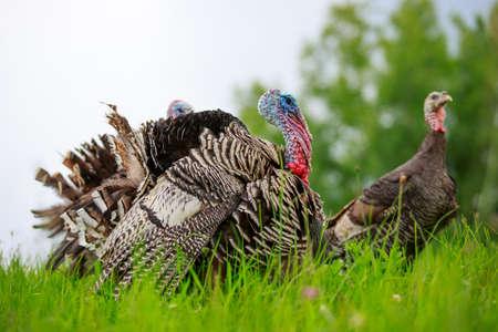 Portrait of a turkey on a green meadow Stock Photo