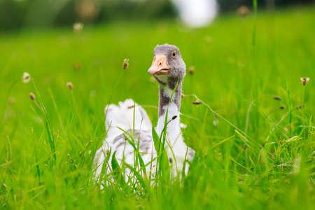Portrait of a goose on a green meadow 版權商用圖片