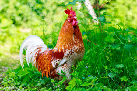Portrait of a chicken in green grass 版權商用圖片