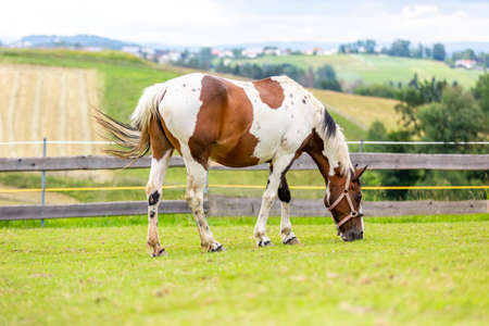 Criollo horse stands on a green meadow
