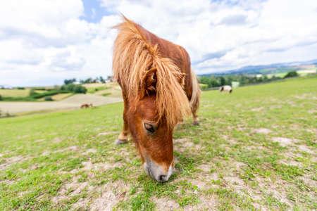 Mini pony is grazing on a green meadow Standard-Bild - 152259549
