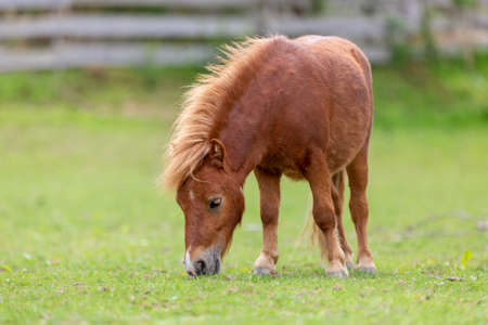 Mini pony is grazing on a green meadow