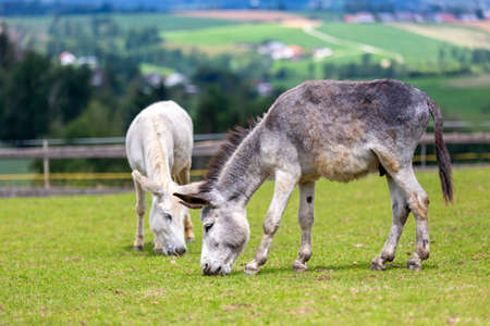 White and a gray donkey grazing on a meadow