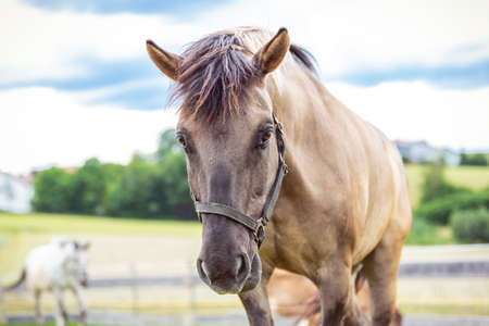 Portrait of a konik horse in front a beautiful background