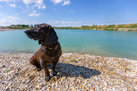 Portrait of a hanoverian hound at a lake Standard-Bild