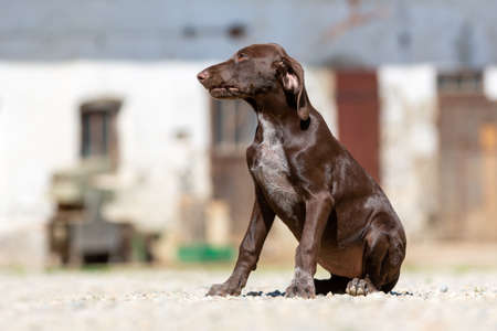 Portrait of a german shorthaired pointer dog