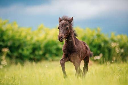 Young mini pony horse on a green meadow Foto de archivo