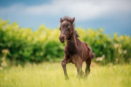 Young mini pony horse on a green meadow Imagens