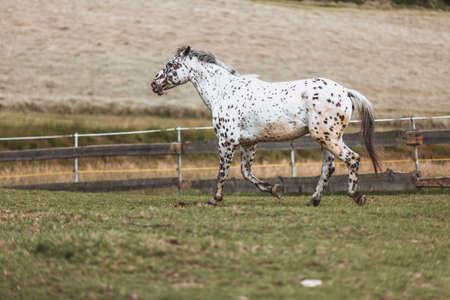 Portrait of a Danish Knabstrupper horse at a meadow