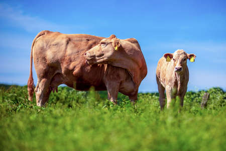 A calf and a cow stands on a meadow