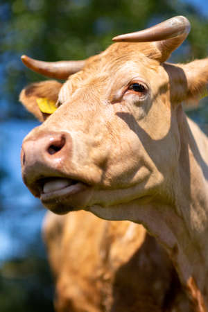 Portrait of a brown cow on a meadow
