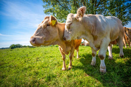 Portrait of a brown cow and a white bull on a meadow