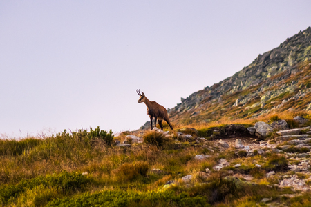 Mountain goat alias Rupicapra Rupicapra Tatrica in High Tatras, Slovakia. On the way to very famous peak Krivan with height 2494 meters above sea level, in Western part of High Tatras.
