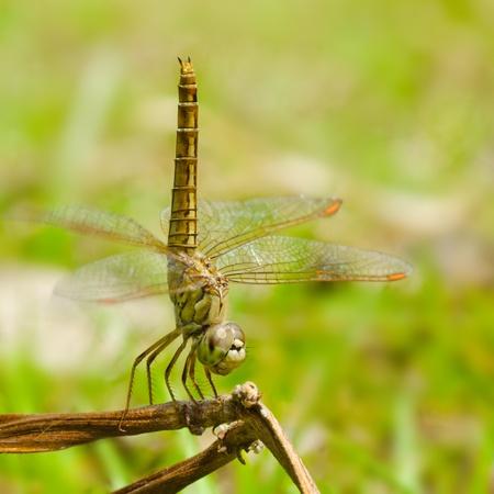anisoptera: Close up dragonfly.