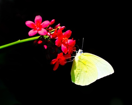emigrant: Butterflies in the garden. (Lemon Emigrant ; Catopsilia Pomona)