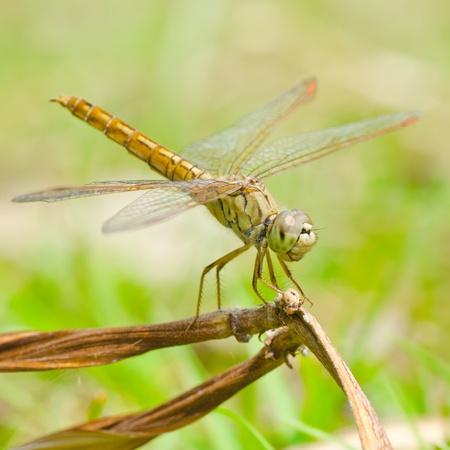 anisoptera: Close up dragonfly