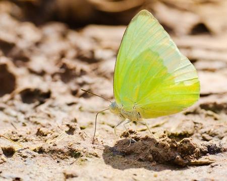 emigrant: Butterflies eat salt marsh  Lemon Emigrant ; Catopsilia Pomona  Stock Photo