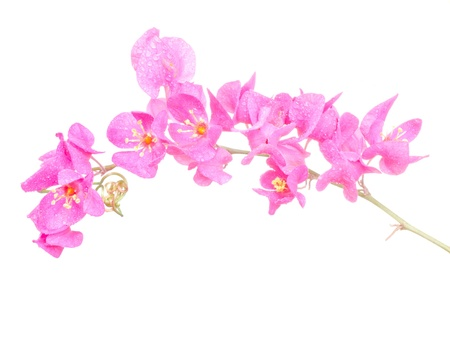 peach blossom: Pink flower on a white background  Coral Vine, Mexican Creeper, Chain of Love