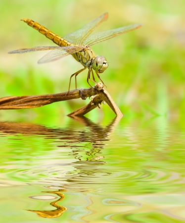 Dragonfly reflected in water  Stock Photo