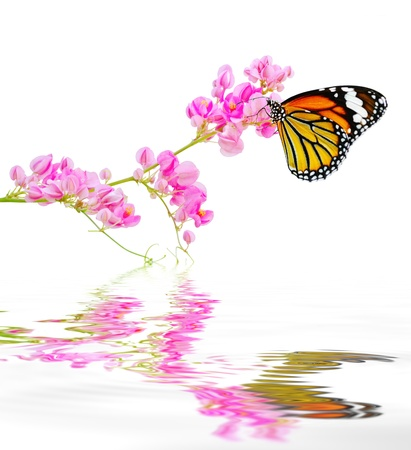 Butterfly hang on pink flowers reflected in the water   Danaus genutia ; Common Tiger  photo