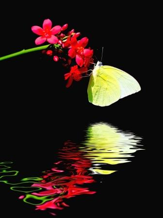 emigrant: Butterfly reflected in water   Lemon Emigrant ; Catopsilia Pomona  Stock Photo