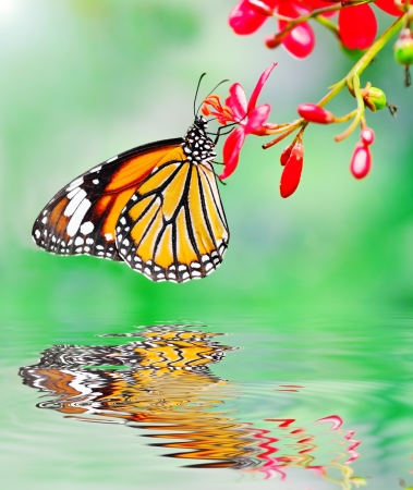 Butterfly reflected in water   Danaus genutia ; Common Tiger  photo