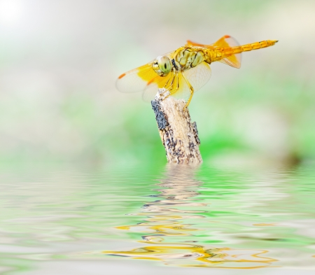 Dragonfly reflected in water  photo