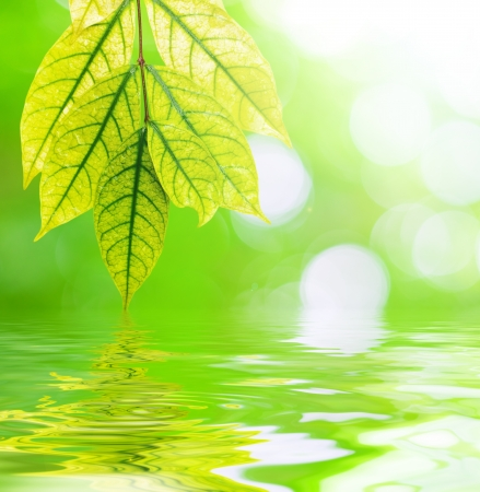 chlorophyll: Leaves reflected in water  Stock Photo