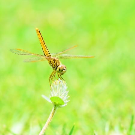 drago alato: Libellula in natura
