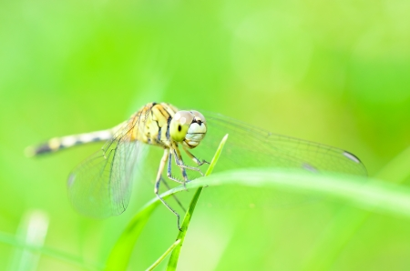 anisoptera: Dragonfly in nature  Stock Photo