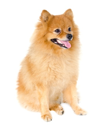 Pomeranian dog on white background. photo