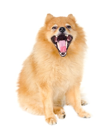 gape: Pomeranian dog gape on white background