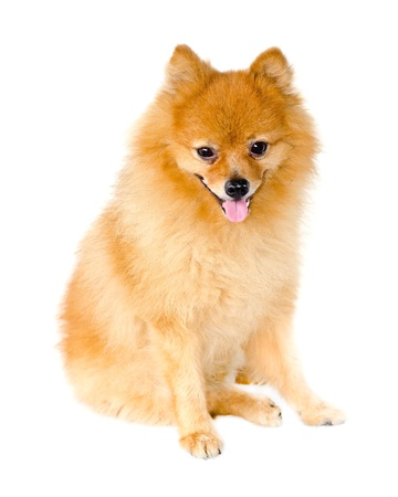 Pomeranian dog on white background  photo