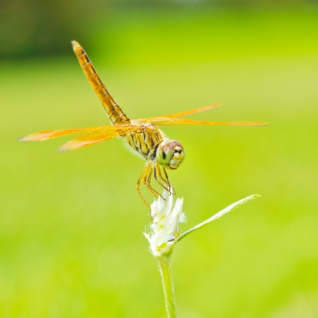snaketail: Dragonfly in nature  Stock Photo