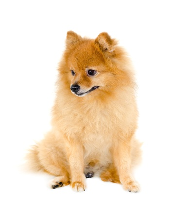 4 7: Pomeranian dog on white background  Stock Photo