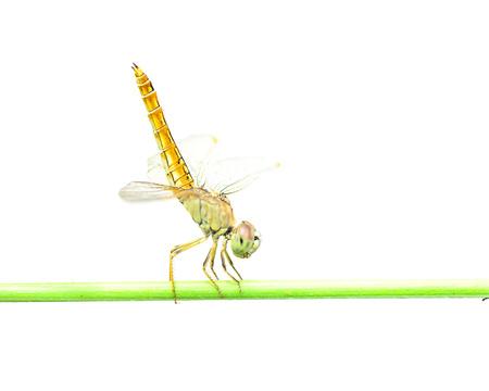 anisoptera: Dragonfly on white background.