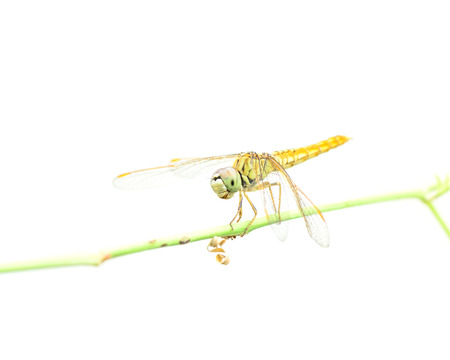 Dragonfly on white background.